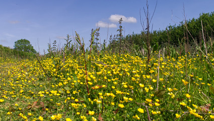 Early summer, low level point of view in a buttercup flower meadow