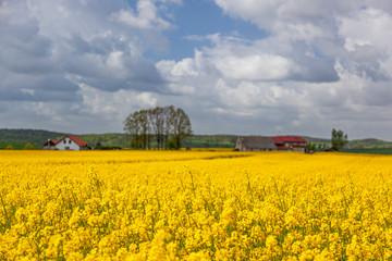 Rzepak - żółte kwiaty rzepaku - krajobraz rolniczy, Polska, Warmia i mazury