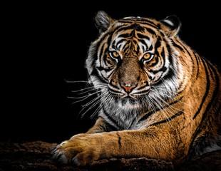 Photo sur Plexiglas Tigre portrait of a bengal tiger