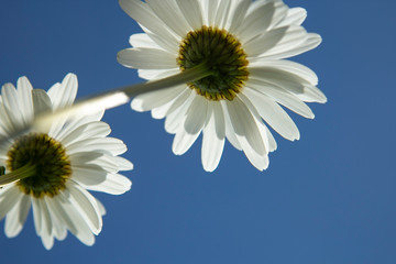 Daisies flower below against a clear sky. Summer concept