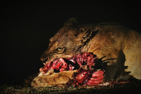 Lion Eating Raw Food At South Luangwa National Park