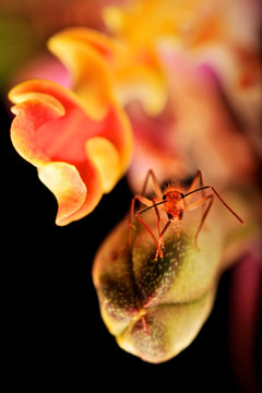 Hormiga roja mirando a cámara, sobre capullo de orquídea Myrmecophila christinae, planta endémica de la Península de Yucatán, México.