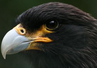 Canvas Prints Eagle Close-up Of Hawk's Head