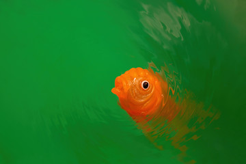 Goldfish toy in vivid green water ripples with copy space