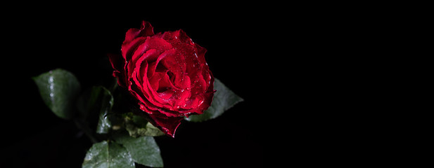 Narrow banner of wet red rose on black background with copy space