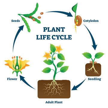 Plant life cycle vector illustration. Labeled educational development scheme