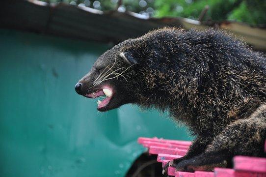 Bear Cat At Lakeshore In Zoo