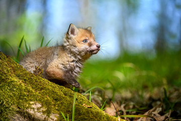 Wall Mural - Red fox, vulpes vulpes, small young cub in forest