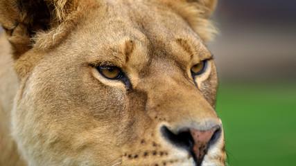 Wall Mural - Close up lion portrait. Animal wild predators in natural environment