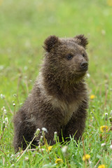 Wall Mural - Bear cub in spring grass. Dangerous small animal in nature meadow habitat
