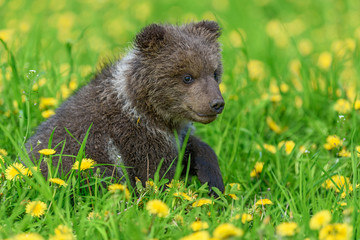 Wall Mural - Bear cub in spring grass. Dangerous small animal in nature meadow with yellow flowers.