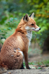 Wall Mural - Red Fox, beautiful animal on green vegetation in the forest, in the nature habitat