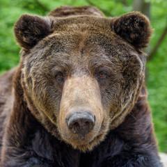 Wall Mural - Close-up sleep brown bear portrait. Danger animal in nature habitat