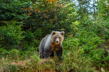 Wall Mural - Big brown bear in the forest. Dangerous animal in natural habitat. Wildlife scene