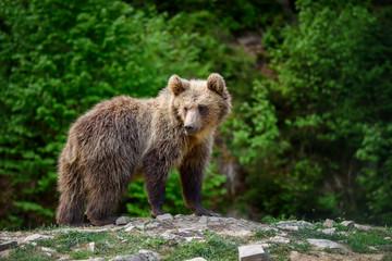 Wall Mural - Brown bear in the forest. Dangerous animal in natural habitat. Wildlife scene