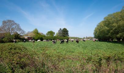 Herd of cows on green meadow in Belgium.