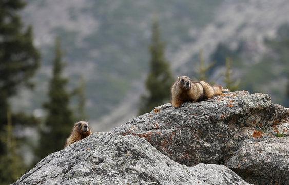 Marmots are seen in Ile-Alatau National Park near Almaty