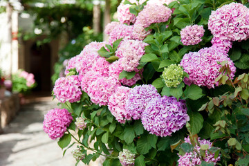Fotomurales - Hydrangea flowers garden on backyard. Pink, lilac, purple bushes blooming in countryside and town streets in spring and summer.