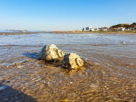 Rapana, Muricidae. predatory marine gastropod mollusks. A warm summer morning on the coast of the Black sea