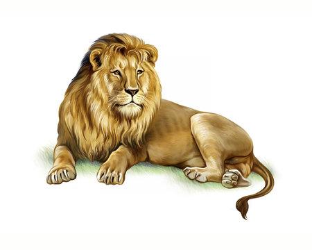 lion (Panthera leo), realistic drawing