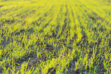 Young sprouts of wheat on a morning spring field