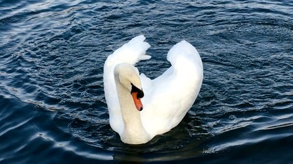 Poster Cygne High Angle View Of Swan Swimming On Lake