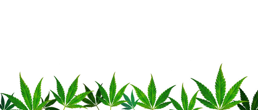 CBD. horizontal banner with green cannabis leaves