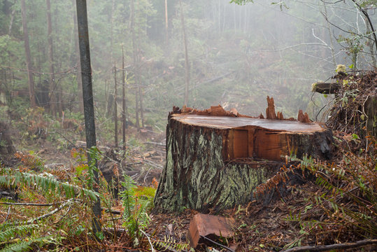 Deforestation of the ancient Redwoods in Humboldt County, Northern California