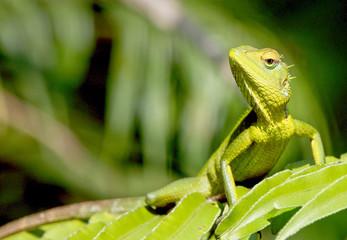 Green Garden Lizard (Calotes calotes), Sinharaja Forest Reserve, Sri Lanka. Wall mural