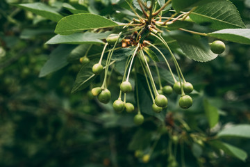 Young, green cherries hanging on tree branch