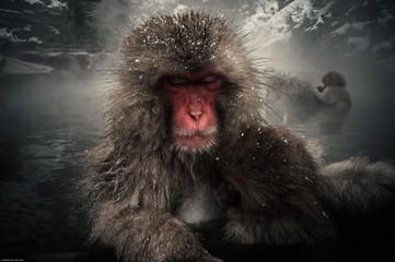 Fotorolgordijn Aap Close-up Of Snow Monkey