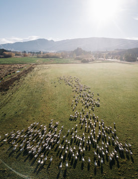 Sheep in green grass field in rural of New Zealand