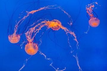 Wall Mural - jelly fish in the blue ocean