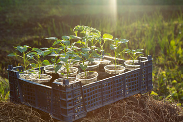 Growing vegetable seedling in tray, agriculture concept