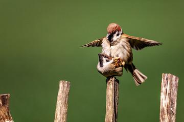 Mating couple of Eurasian Tree Sparrow, Passer montanus