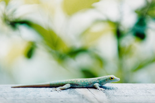 Seychelles Small Day Gecko or Stripeless day gecko (UK), Phelsuma astriata, wildlife on the Seychelles