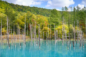 Beautiful early Autumn view of Shirogane blue pond or aoike in Biei town in Hokkaido, Japan.