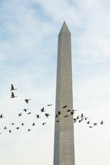 Geese fly by the Washington Monument Building at the Mall in Washington, DC