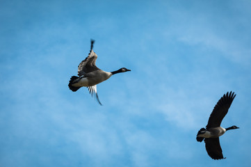 Goose flying by, blue Sky with Clouds