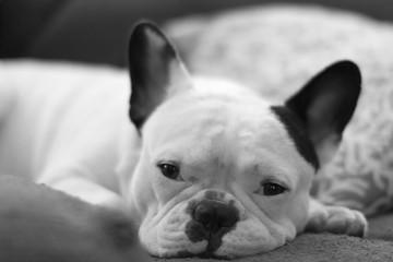 Fototapeta Close-up Of French Bulldog Lying Down On Sofa obraz