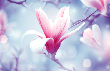 Wall Mural - Magnolia flowers on fantasy mysterious airy blue background, fabulous spring fairy tale floral garden with elegant blooming pink magnoliaceae tree plant, amazing magnificent artistic nature landscape