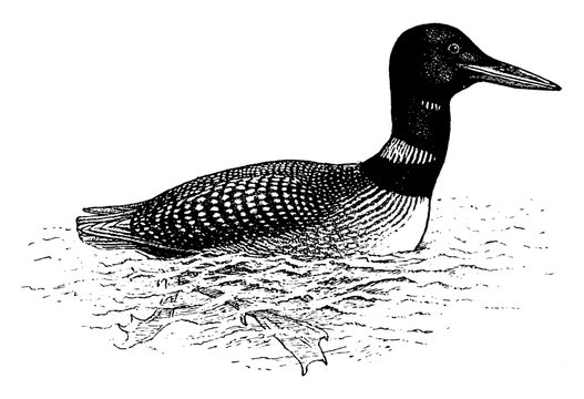 Loon, vintage illustration.