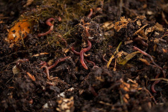 Earthworms and compost bin. Worm composting is using worms to recycle food scraps and other organic material into a valuable soil amendment called vermicompost, or worm compost.