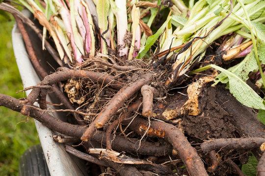 Fresh harvesting Comfrey roots (Symphytum officinale) . Comfrey is used in herbal medicine