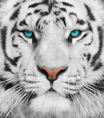 Albino tiger with beautiful turquoise eyes
