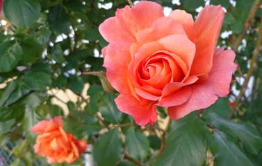 Fototapeta Dwie róże Rosmary obraz