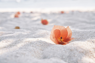 Exotic blossom pink flower on tropical white sandy beach