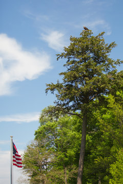 Bald Eagle perched on top of evergreen tree near American flag hunting on Lake Michigan