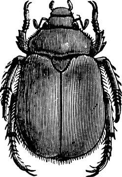 Beetle, vintage illustration.