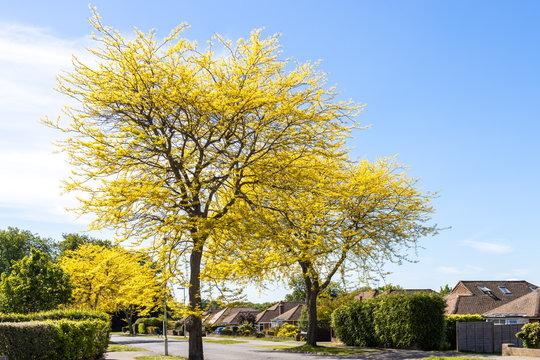 Honey Locust tree (Gleditsia Triacanthos 'Sunburst') yellow leaves in springtime